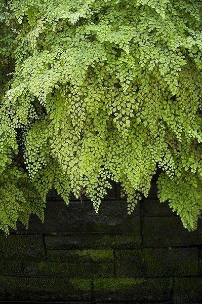 angel hair fern image via hildrethlane as seen on linenlavenderlife com