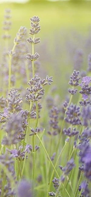 lavender  - via RM Oils - recommended by l&l life - www.linenlavenderlife.com