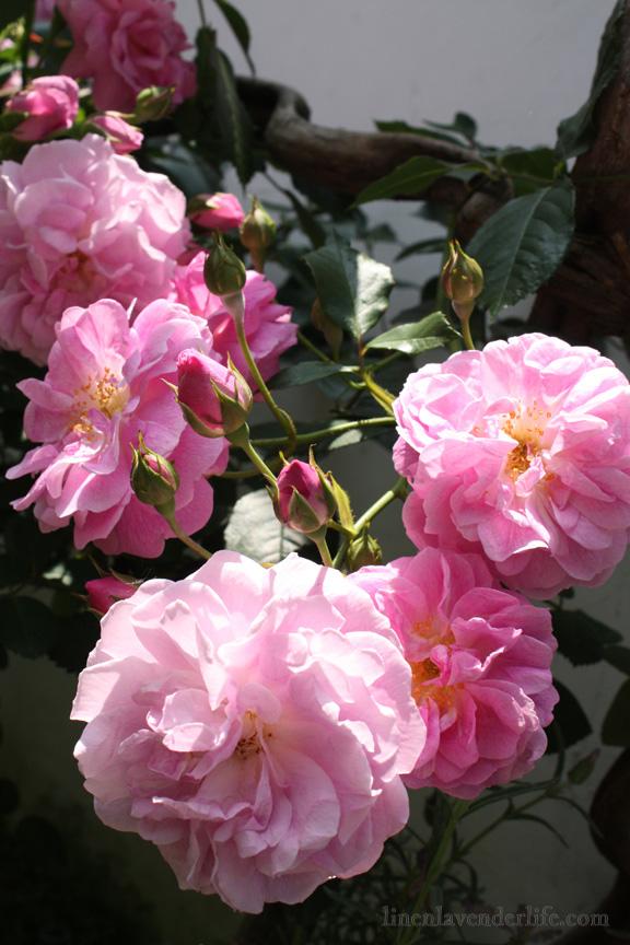 rose-splendor-in-my-garden-by-lb-8x12-as-seen-on-linenlavenderlife-com