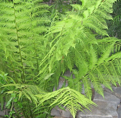 Australian Fern - l&l at home - image by L for linenlavenderlife.com