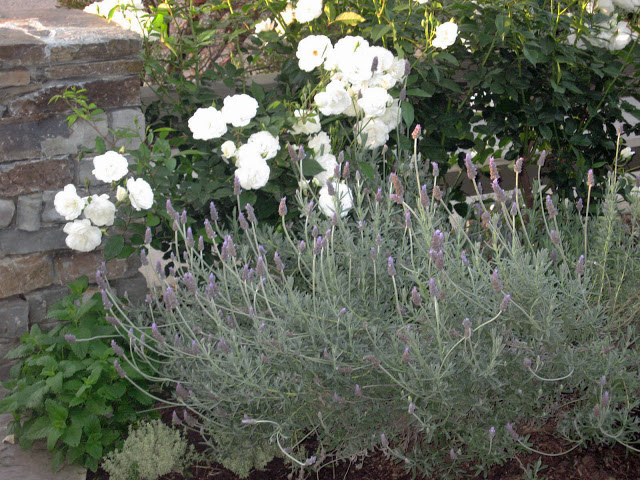 l&l at home - garden: iceberg roses, lavender, stone wall - image by L for www.linenlavenderlife.com